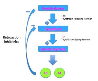 Fonctionnement de la thyroïde